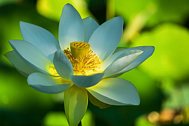 image of a white lotus flower