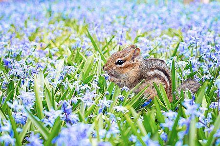 chipmunk in purple field of flowers