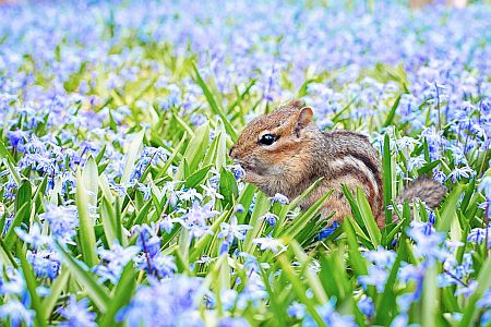 chipmunk in purple field of flowers